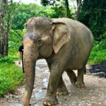 Phuket Elephant Sanctuary | Loving Home for Elephants