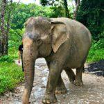 Phuket Elephant Sanctuary is a Loving Home for Elephants