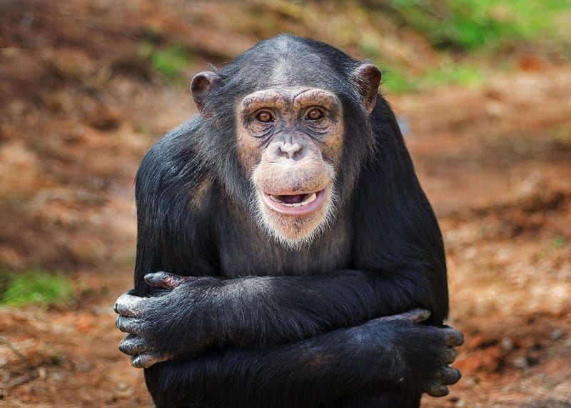 Project Chimps - It's Their Time to Live